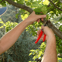 Tree Pruning Putney